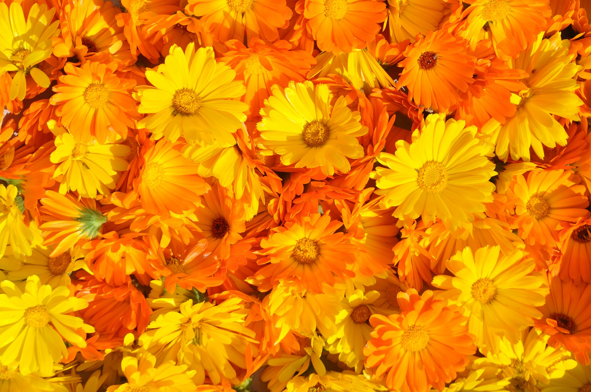 marigold-237828_1920